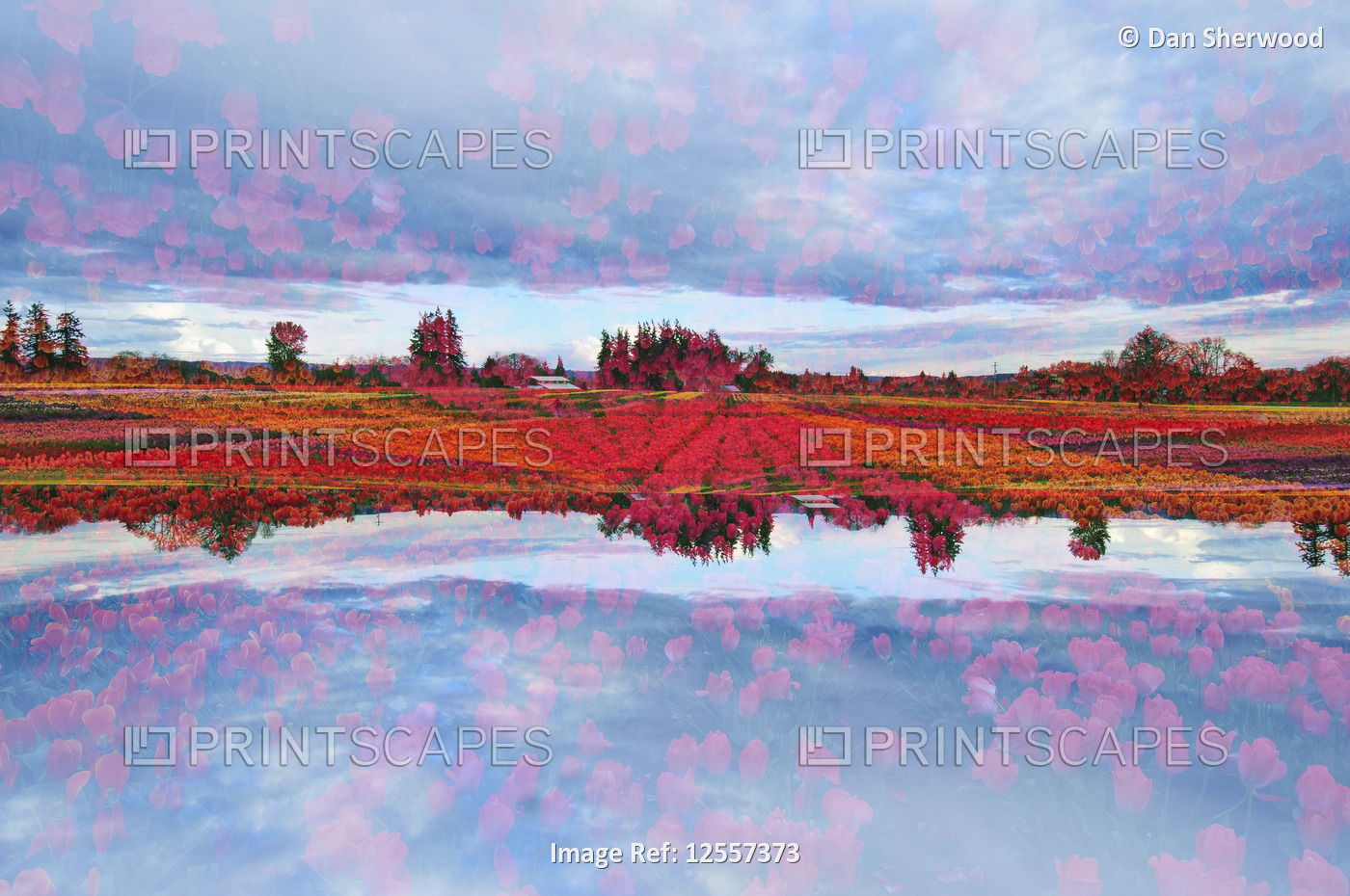 Multiple Exposure of Tulip Fields in Bloom at the Wooden Shoe Tulip Festival - Woodburn, Oregon